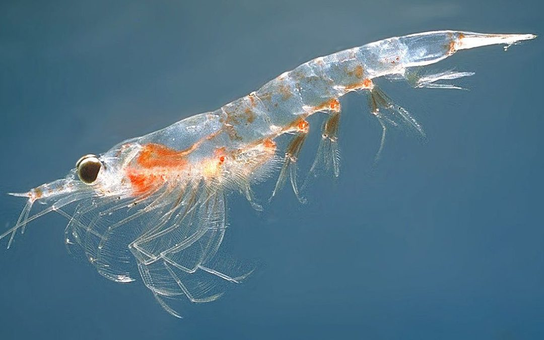 Dangerous lack of Omega-3 Fatty Acids in the Vegan diet – Solved by Entovegan Krill Oil